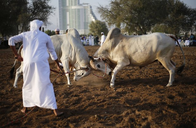 Two bulls lock their horns during a bullfight in the eastern emirate of Fujairah October 17, 2014. (Photo by Ahmed Jadallah/Reuters)
