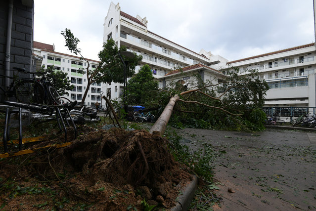 Uprooted trees are seen after Typhoon Meranti makes a landfall on southeastern China, in Xiamen, Fujian province, China, September 15, 2016. (Photo by Reuters/Stringer)