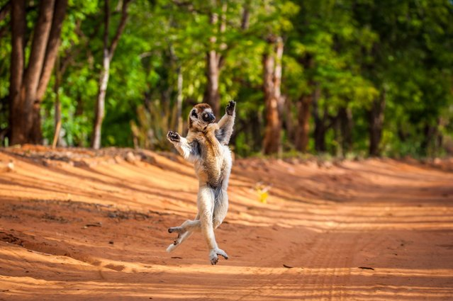 The Sifaka jumps along the road. (Photo by Shannon Wild/Caters News Agency)