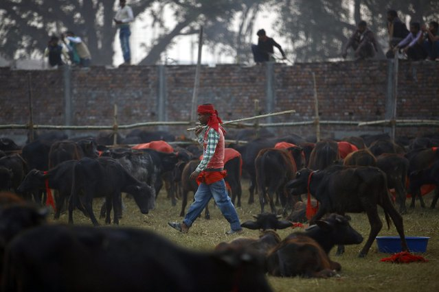 "A herder works inside an enclosure for buffalos awaiting sacrifice on the eve of the sacrificial ceremony for the ""Gadhimai Mela"" festival in Bariyapur November 27, 2014. (Photo by Navesh Chitrakar/Reuters)"