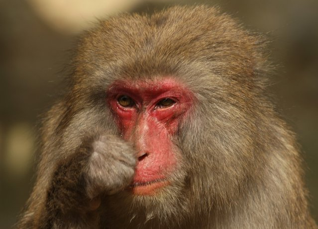 Japanese macaque monkey scratches her noses while suffering an allergy to pollen from the cedar tree at Awajishima Monkey Centre on March 17, 2013 in Sumoto, Japan. Many monkeys are suffering the effects of hay fever at this time of the year, with the typical symptoms being the same as with humans.  According to Awajishima Monkey center this year hay fever is higher than last year, the pollen season is from February to April.  (Photo by Buddhika Weerasinghe)