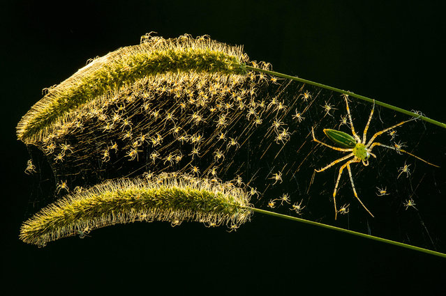 """Arachnids category winner: Microspur by Lung-Tsai Wang. This shot of a lynx spider (Oxyopidae) with its young was taken in the mountains of Taiwan. Lung-Tsai says: """"The small oxyopidaes were climbing out, followed by two days of cannibalism, and the last one to survive is the king. It was quite a spectacle!"""". (Photo by Lung-Tsai Wang/Luminar Bug Photographer of the Year 2020)"""