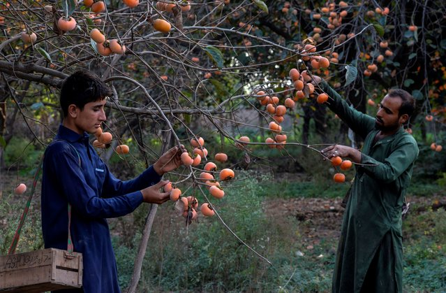 Workers harvest persimmons at an orchard in Peshawar on October 12, 2020. (Photo by Abdul Majeed/AFP Photo)