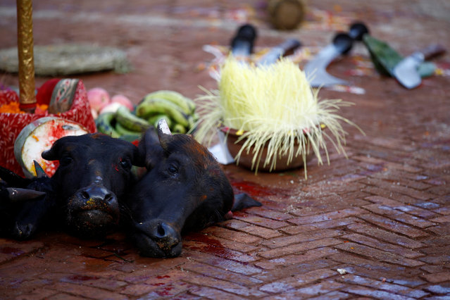 "The heads of slaughtered water buffalos and a goat are lined up on the ground after the animals were sacrificed during ""Dashain"", a Hindu religious festival in Kathmandu, Nepal October 10, 2016. (Photo by Navesh Chitrakar/Reuters)"