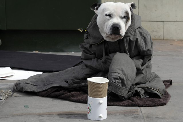 """A dog wrapped in a jacket, belonging to a street artist, sits on a pavement in London April 22, 2013. An influential academic paper which made the case for austerity, is thought to be flawed. The paper, called """"Growth in a Time of Debt""""  by Harvard professors, Carmen Reinhart and Ken Rogoff, has data missing, according to Universtiy of Massachusetts student, Thomas Herndon. Photograph taken on April 22, 2013. (Photo by Stefan Wermuth/Reuters)"""