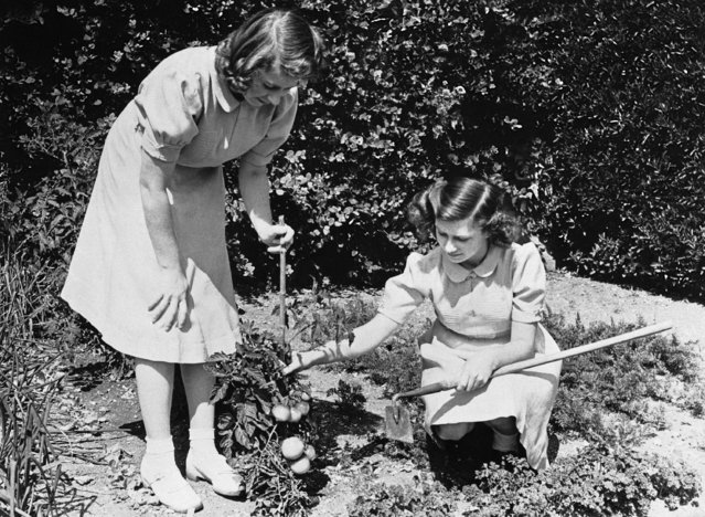 The Princesses Elizabeth, left, and Margaret Rose, right, daughters of King George and Queen Elizabeth of England, inspect tomatoes which they have grown in their own garden, September 8, 1943, London, England. (Photo by AP Photo)