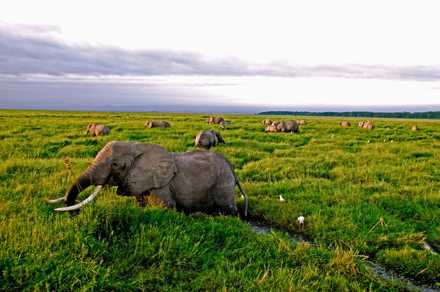 Global wildlife populations will decline by 67% by 2020 unless urgent action is taken to reduce human impact on species and ecosystems, warns the biennial Living Planet Index report from WWF (World Wide Fund for Nature) and ZSL (Zoological Society of London). From elephants to eels, here are some of the wildlife populations most affected by human activity. Here: African elephants are under intense pressure from poaching and the fragmentation of habitat. Populations in Tanzania have declined by 60% between 2009 and 2014. (Photo by Martin Harvey/WWF/PA Wire)
