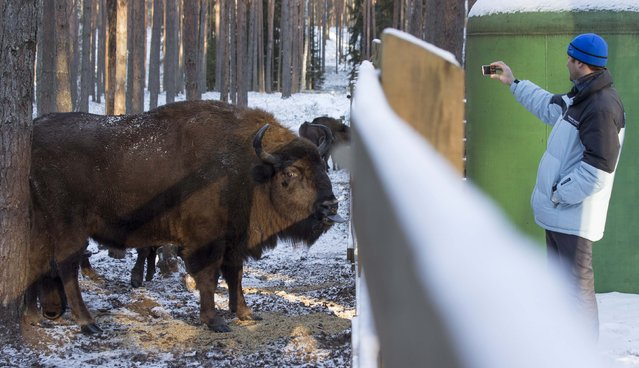 A visitor takes a picture of a European bison in a forest of the Nalibokskaya Pushcha Reserve, near the village of Rum, west of Minsk, January 6, 2015. (Photo by Vasily Fedosenko/Reuters)