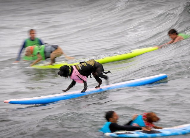 The 2018 Imperial Beach Surf Dog Competition next to the Imperial Beach Pier in San Diego, California on July 28, 2018. (Photo by Howard Lipin/San Diego Union-Tribune via ZUMA Press/Rex Features/Shutterstock)