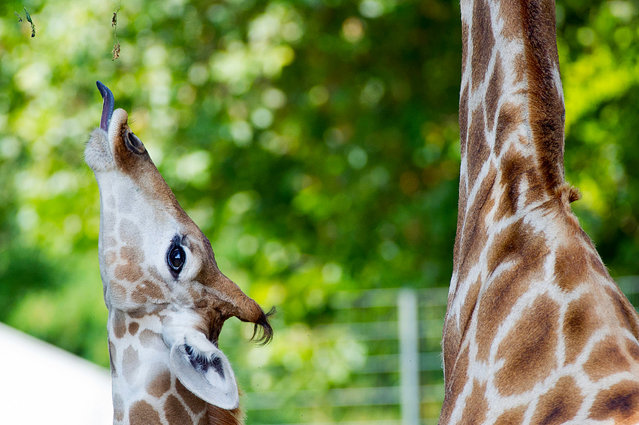 A young giraffe tries to reach food with its tongue at the Zoo in Dortmund, Germany, 29 August 2013. A second full grown giraffe stands next to it. (Photo by Jan-Philipp Strobel/EPA)