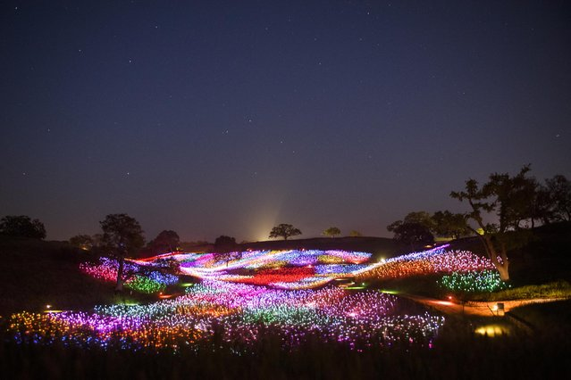 In this long exposure image, fiber-optic lights glow at the Field of Light immersive art installation from artist Bruce Munro, part of the Light at Sensorio on April 13, 2021 in Paso Robles, California. The Light Towers feature 69 towers composed of more than 17,000 wine bottles adjacent to a 15 acre Field of Light at Sensorio which has a solar powered array of over 58,800 stemmed spheres lit by fiber-optics. (Photo by Patrick T. Fallon/AFP Photo)