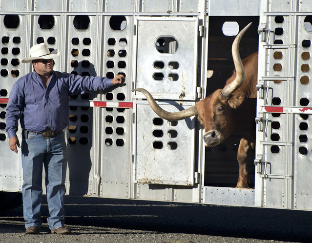"""Reno Rosser releases one of the 52 Texas longhorn steers which were lead across the Tower Bridge toward the Capitol on Monday, September 23, 2013 in Sacramento, Calif as one of dozens of events set for """"Farm-to-Fork Week"""", which runs through September 29. (Photo by Randy Pench/AP Photo/The Sacramento Bee)"""