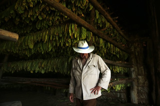 A farmer stands in front of tobacco leaves inside a curing barn at a tobacco plantation in valley of Vinales, in the western Cuban province of Pinar del Rio January 26, 2015. (Photo by Pilar Olivares/Reuters)