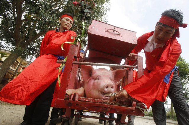 A pig is fed with food as it is carried around Nem Thuong village during a festival at the village in Bac Ninh, north of Hanoi, February 24, 2015. Organized by the villagers, the festival is held on the sixth day of the first month of the lunar calendar to worship the village's deity Doan Thuong, an anti-royal military general who lived in 13th century. Every year, thousands of people from the village and nearby villages will gather to smear the blood of the pig on their banknotes in the belief that it would bring luck in the new year. The festival is known as the most brutal in the country and is condemned by many, including some who called on the government to stop the festival. (Photo by Reuters/Kham)