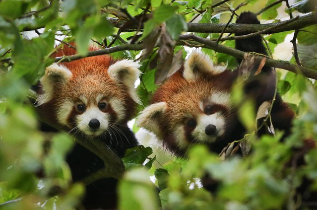 Two female Red Panda cubs in their enclosure at Port Lympne Wild Animal Park near Ashford, Kent, on November 1, 2013, as they make their public debut following the recent bad weather. (Photo by Gareth Fuller/PA Wire)