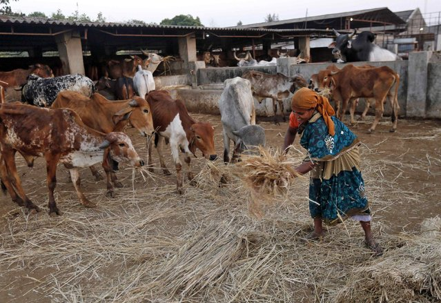 """A woman spreads out fodder for rescued cattle at a """"goushala"""", or a cow shelter, run by Bharatiya Gou Rakshan Parishad, an arm of Hindu nationalist group Vishwa Hindu Parishad (VHP), at Aangaon village in the western Indian state of Maharashtra February 20, 2015. (Photo by Shailesh Andrade/Reuters)"""
