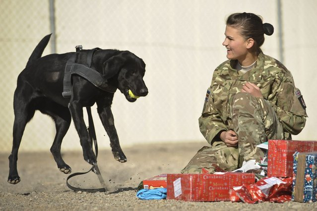 Military dog Hazel is delighted with her present from her handler Private Zina Saunders in Afghanistan. (Photo by Ben Birchall/PA Wire)