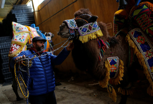"Wrestling camel ""Crazy Hasan"" is adorned by his owner for the Camel Beauty Contest ahead of the annual Selcuk-Efes Camel Wrestling Festival in the Aegean town of Selcuk, near Izmir, Turkey, January 14, 2017. (Photo by Murad Sezer/Reuters)"