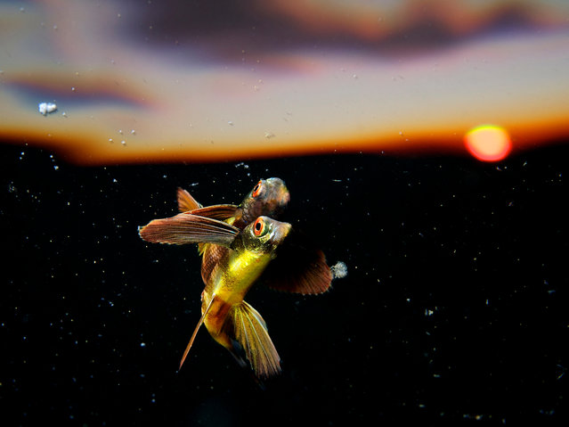 """Eric Madeja, Switzerland. Open Competition; Nature and Wild Life. """"I came across this juvenile flying fish while diving near Tubbataha Reefs, Philippines, hovering just below the surface. It took me hours to get close enough and this photograph was taken just when the sun was setting"""". (Photo by Eric Madeja/Sony World Photography Award)"""