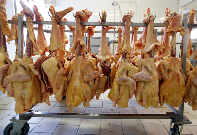 Slaughtered ducks are seen on a rack at a poultry farm in Eugenie les Bains, France, January 24, 2017, as France scales back preventive slaughtering of ducks to counter bird flu after the culling of 800,000 birds this month helped slow the spread of the disease. (Photo by Regis Duvignau/Reuters)