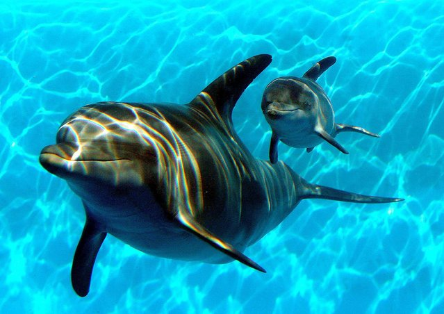 Bella, a Bottlenose Dolphin, swims in a pool with her new calf named Mirabella at Six Flags Discovery Kingdom in Vallejo, California, on January 17, 2014.  Bella, 9, gave birth to her first calf on January 9. (Photo by Justin Sullivan/Getty Images)