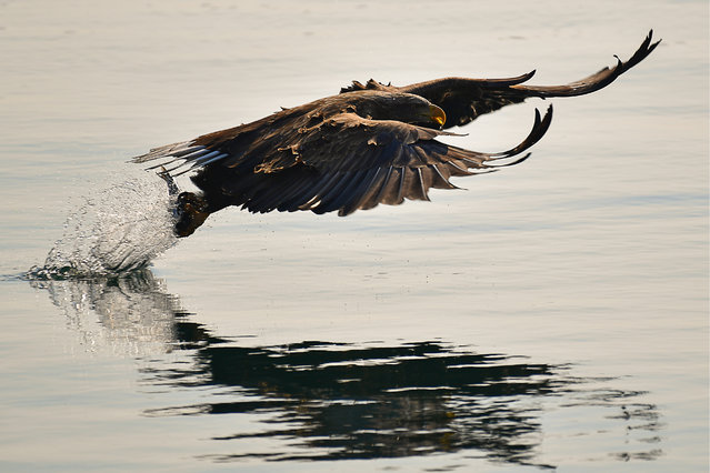 A White-tailed sea eagle spending winter in the ice-free bay of Zolotoy Rog (Golden Horn Bay) in Vladivostok, Russia on February 16, 2019. (Photo by Yuri Smityuk/TASS)
