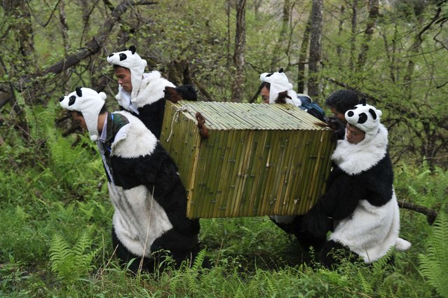 Workers wear panda costumes as they carry a box to transport Giant Pandas back to the wild, at the Wolong National Nature Reserve in Wolong, southwest China's Sichaun province on May 3, 2012. (Photo by AFP Photo)