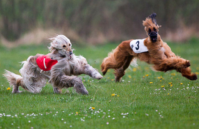 Afghan hounds Golea's Varvara, left, and Zindehsjah's Farasha run during one of the competitions at the International Greyhound Race in Wismar, Germany, Sunday, April 26, 2015. Around 120 greyhounds run in various categories and classes at the meeting organized by the Greyhound Friends Society of Mecklenburg-West Pomerania. (Photo by Jens Buettner/AP Photo/DPA)
