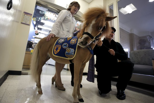 Handler Jorge Garcia-Bengochea (R) holds Honor, a miniature therapy horse from Gentle Carousel Miniature Therapy Horses, as they are greeted by Dr. Lisa Satin, System Chair of Pediatrics for the Mount Sinai Health System, during a visit with patients at the Kravis Children's Hospital at Mount Sinai in the Manhattan borough of New York City, March 16, 2016. (Photo by Mike Segar/Reuters)