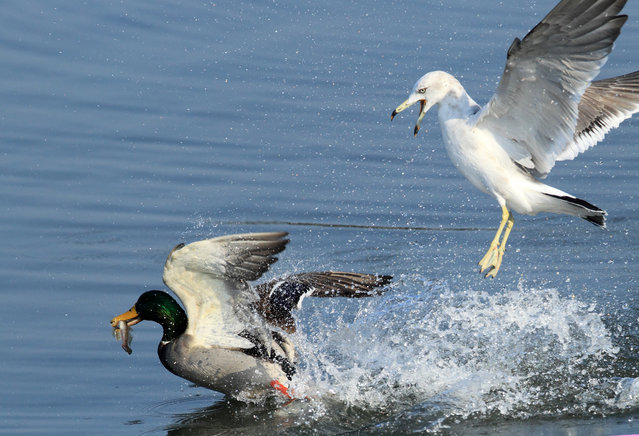 A seagull chases a mallard duck at Gyeongpo Lake in Gangneung, Gangwon Province, South Korea, March 17, 2014. The seagull was apparently trying to snatch the duck's fish. (Photo by EPA/YONH)