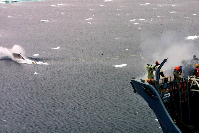 A file handout photo dated 16 December 2001 and made available by Greenpeace, showing a whale catcher ship Kyo Maru 1, using a harpoon to catch a whale in Southern Ocean. (Photo by Jeremy Sutton-Hibbert/EPA)