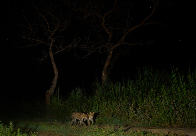 Two fishing cats are caught walking along the track in Terai belt of the Dudhwa Tiger Reserve in March 2017, Uttar Pradesh, India. A one-mile long track in the middle of a Uttar Pradesh jungle is frequently used as a road for animal traffic. Wildlife photographer, Shivang Mehta and his team got together to document and photograph the tigers in the Terai belt of the Dudhwa Tiger Reserve in Uttar Pradesh, India. This particular area of the Terai belt in the reserve has not been documented much. The tigers in this region are hard to spot, shy and mostly nocturnal. Shivang and his team resorted to camera trapping so that they do not disturb the big cats. After researching and following the jungle tracks for two days, the team zeroed in on one small track which ran near a swampland. (Photo by Shivang Mehta/Barcroft Images)