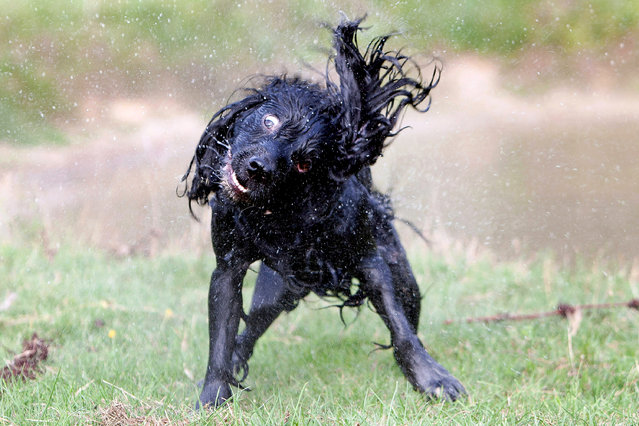 A British photographer has captured the hilarious expressions pulled by dogs as they go for a run. From popping eyes to lolling tongues, Nick Ridley from Aylesbury in Buckinghamshire has managed to perfectly pause the pooches in time as they pull a host of funny faces in the great outdoors. The 56-year-old uses a fast shutter speed and lies on the ground snapping away as the dogs run towards him in order to get the perfect shot. Here: A Cocker Spaniel. (Photo by Nick Ridley Photography/Caters News Agency)