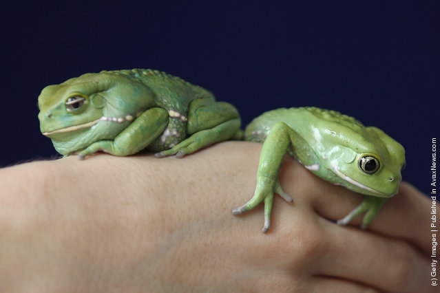 Waxy Tree Frogs rests on a zookeeper's hand during a photocall to promote London Zoo's annual stock take of animals