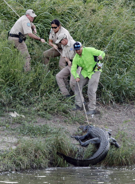 Licensed nuisance alligator hunter Chris Stevens, game wardens and Tarrant Regional Water District employees catch a 10-foot alligator in the Trinity River east  of downtown Fort Worth, Texas, Thursday, July 9, 2015. It will be relocated. (Photo by Rodger Mallison/Star-Telegram via AP Photo)
