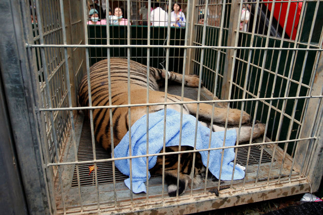 A sedated tiger is seen in a cage as officials start moving tigers from Thailand's controversial Tiger Temple, a popular tourist destination which has come under fire in recent years over the welfare of its big cats in Kanchanaburi province, west of Bangkok, Thailand, May 30, 2016. (Photo by Chaiwat Subprasom/Reuters)