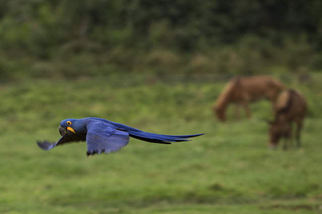 """In this May 16, 2017 photo, an """"Arara"""", or Macaw flies low over a ranch in Corumba, in the Pantanal wetlands of Mato Grosso do Sul state, Brazil. At different moments during a three-week pilgrimage in search of grass to graze for cattle, cowboys cross paths with macaws, deer and pit vipers, all seemingly unfazed by their presence. (Photo by Eraldo Peres/AP Photo)"""