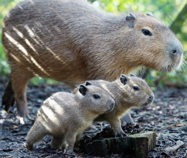 Charlie keeps an eye on his new twin capybara babies, Gus and Jacques on May 24 at The Belfast Zoo in Northern Ireland