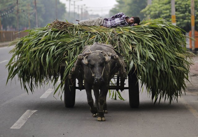 A man lies on a heap of fodder, which was removed from a sugarcane field, on a cart pulled by a bull in Muzaffarnagar in the northern Indian state of Uttar Pradesh July 19, 2014. With this year's monsoon rains several weeks late, the world's second-largest sugar and rice producer is on the verge of widespread drought in the face of a developing Pacific Ocean weather event known as El Nino, which is often associated with drought in South Asia. (Photo by Anindito Mukherjee/Reuters)