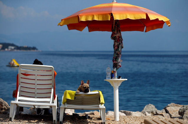 A dog is seen at dog beach and bar in Crikvenica, Croatia, July 12, 2016. The first Croatian beach bar specifically designed for dogs opens in the northern Adriatic town of Crikvenica, enabling canines and their owners to experience the joys of summertime together. Located at one of the few dog friendly beaches in the country, the bar's offer includes specially prepared ice cream, dog beer and snacks. (Photo by Antonio Bronic/Reuters)
