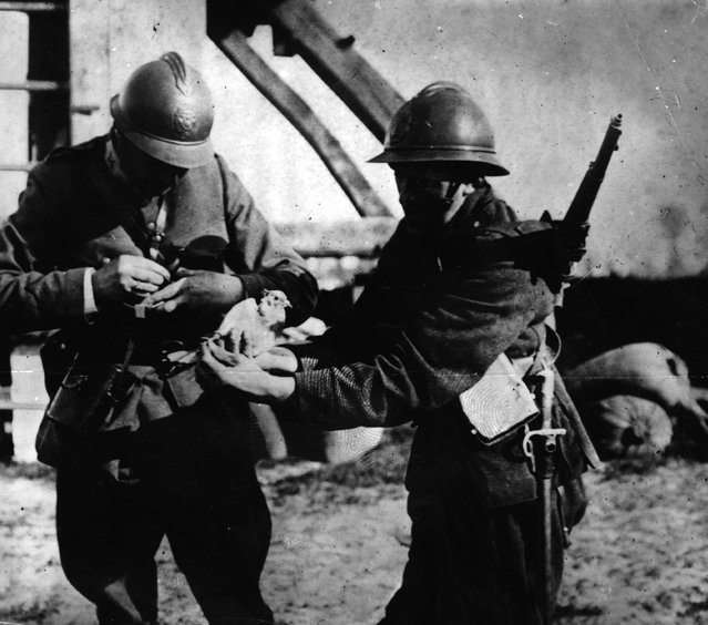 Belgian soldiers attach a message to a carrier pigeon.  1st October 1915.