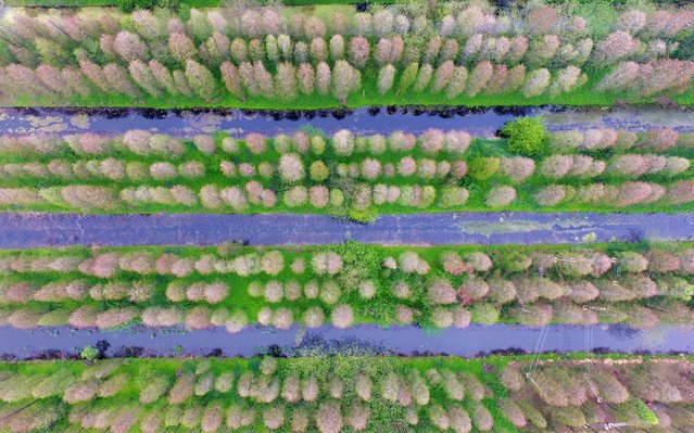 Overlooking qingshuitan Wetland Park in the air, thousands of Chinese fir trees turn green. Gaoyou City, Jiangsu Province, China, April 20, 2020. April 22 is world earth day. (Photo credit should read Costfoto/Barcroft Media via Getty Images)