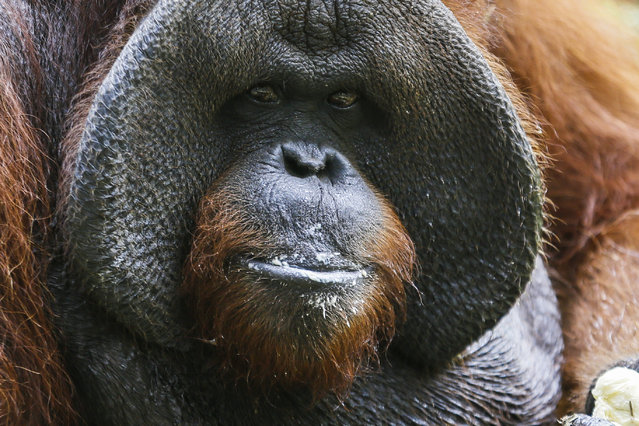 Bali Zoo's Orangutan, Jacky celebrates his 37th birthday eating fruit in Gianyar, Bali, Indonesia, September 4, 2014. (Photo by Made Nagi/EPA)