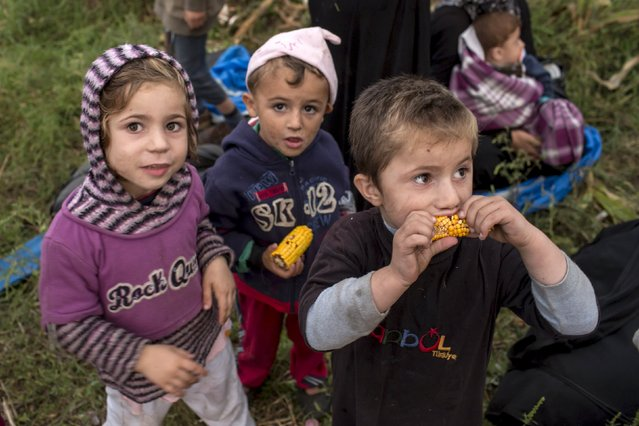 Children from Syria eat raw corn after crossing into Hungary from the border with Serbia on a field near the village of Roszke, September 5, 2015. (Photo by Marko Djurica/Reuters)