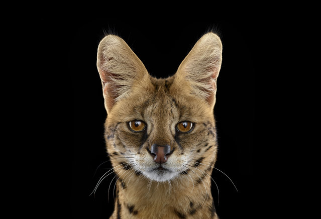 Serval. (Photo by Brad Wilson/Caters News)