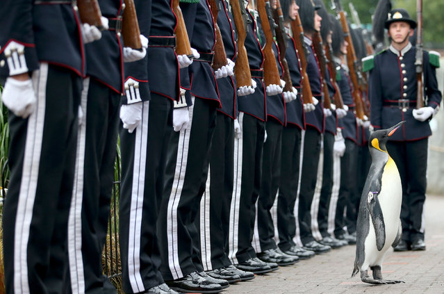 Soldiers of the King of Norway's Guard, taking part in the Royal Edinburgh military tattoo, parade for inspection by their mascot, king penguin Nils Olav on August 22, 2016 at Edinburgh Zoo in Scotland. (Photo by Jane Barlow/PA Wire)