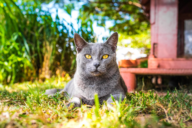 A grey kitty sits in the shade at the Lanai Cat Sanctuary in Hawaii. (Photo by Andrew Marttila/Caters News Agency)