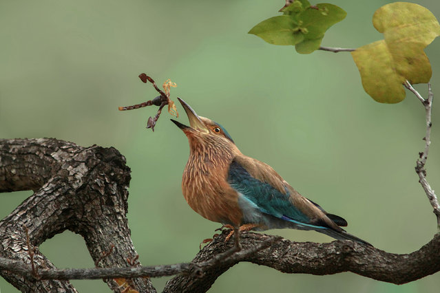 Honourable mention, Behaviour category. Toss the scorpion – Indian roller playing with its kill by Susmita Datta. The image was taken during an early morning safari drive at Tadoba Andhari Tiger Reserve in India. (Photo by Susmita Datta/PA Wire/Royal Society Publishing Photography Competition 2017)