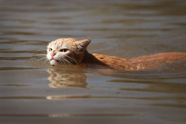 A cat tries to find dry ground around an apartment complex in Houston after Hurricane Harvey hit on Aug. 30. Harvey made landfall in South Texas on August 25, leading to days of downpours that dumped more than 50 inches of rain. Harvey damaged or destroyed about 200,000 homes as the storm system flooded much of Houston and smaller coastal communities. (Photo by Scott Olson/Getty Images)