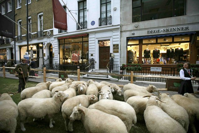Shepherd Ben Blackmore stands with his flock of Exmoor Horn sheep in Savile Row, London, Britain October 5, 2015. (Photo by Peter Nicholls/Reuters)
